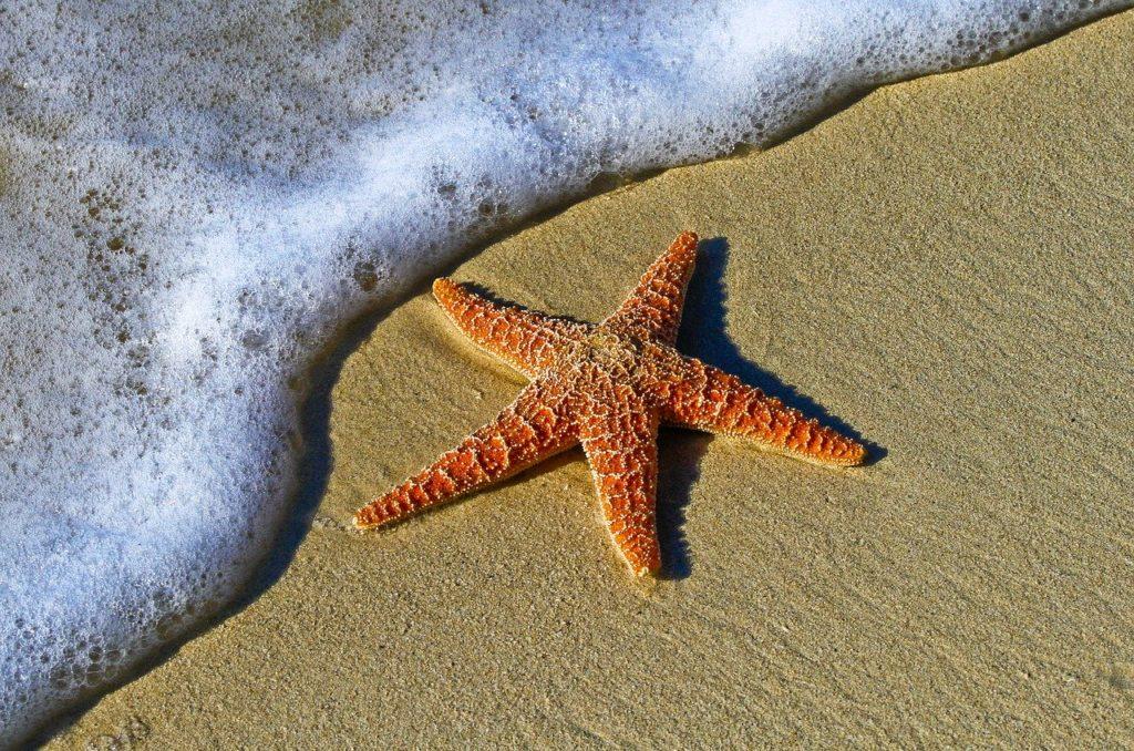 animal, starfish, beach