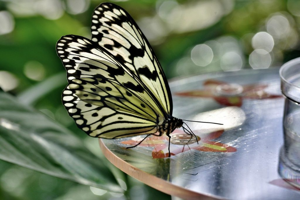 butterfly, tropical butterfly, exotic