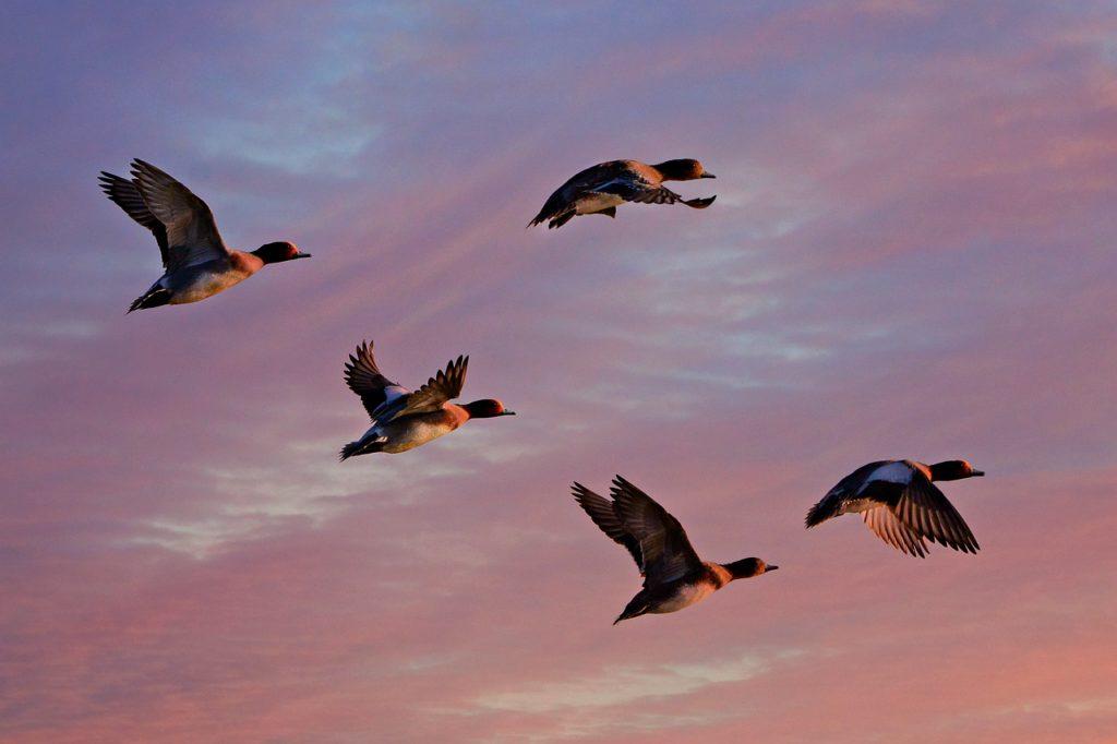 eurasian wigeon, duck, water bird