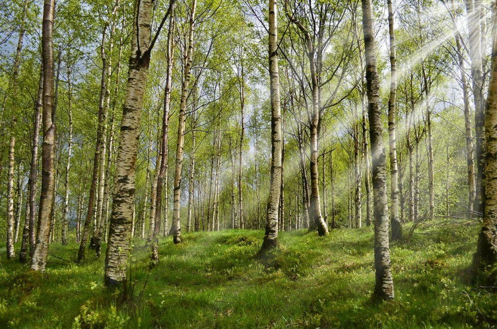 forest, birch, spring