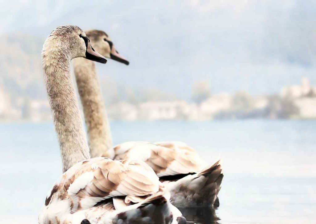 swans, lake, young swans